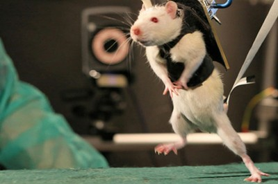 ¿El milagro de las ratas?